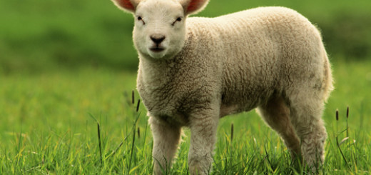 Для чего Авель разводил овец?
