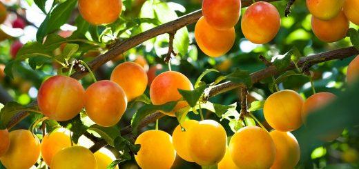 Tu Bi-Szwat: przynosząc owoce dla Mesjasza