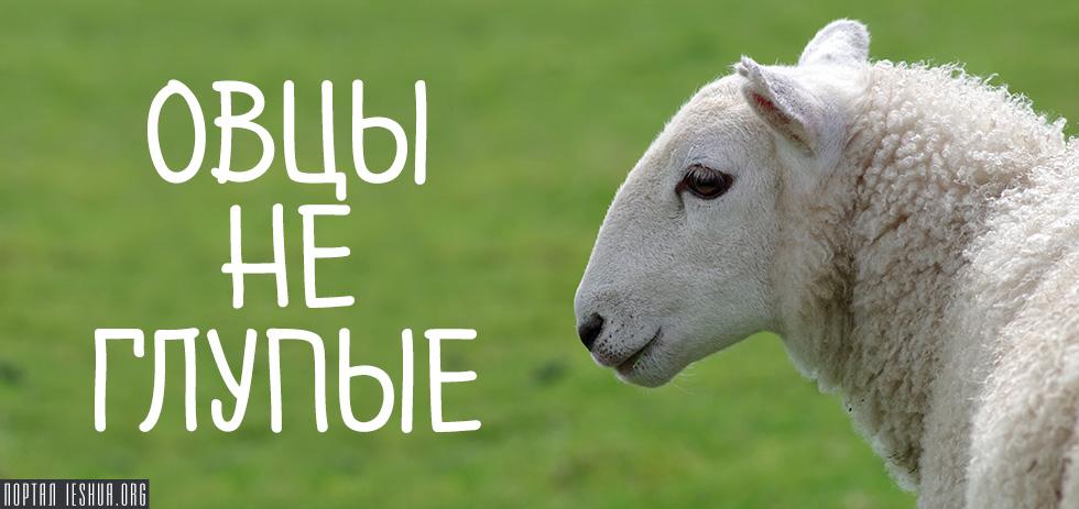 Овцы не глупые