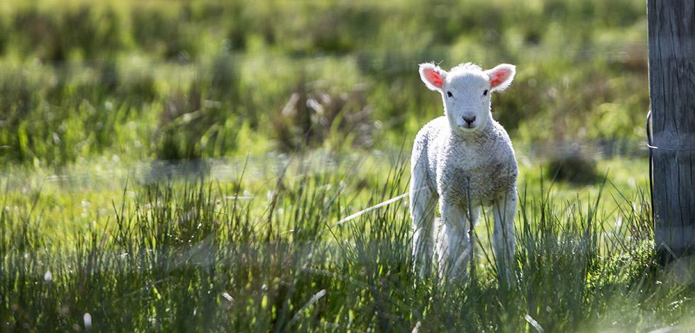 sheepz2