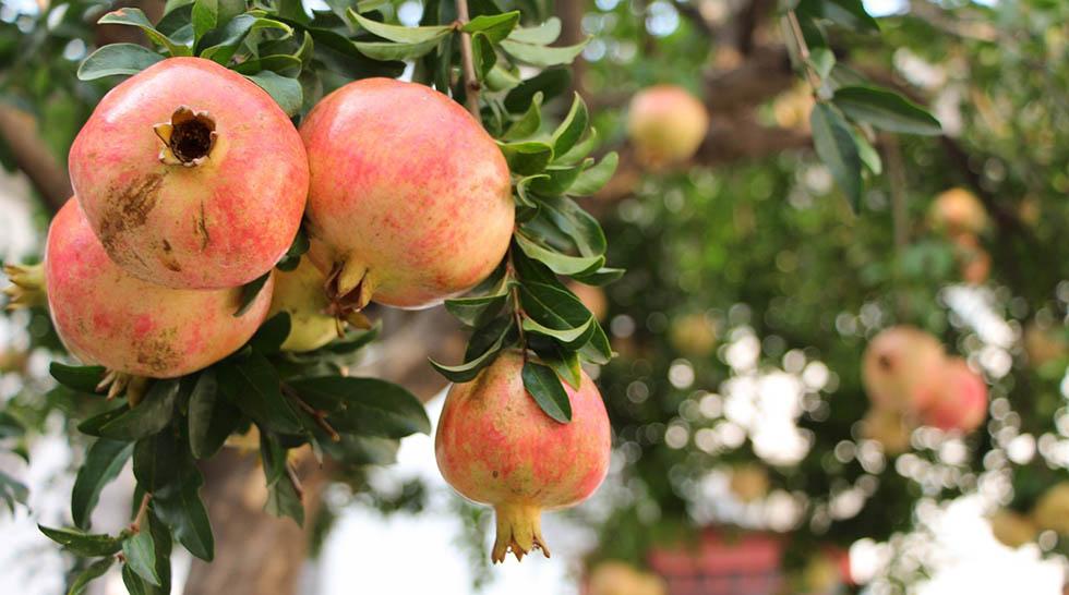 pomegranat3