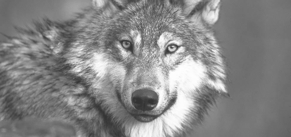 broken-wolves2