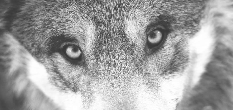 broken-wolves3