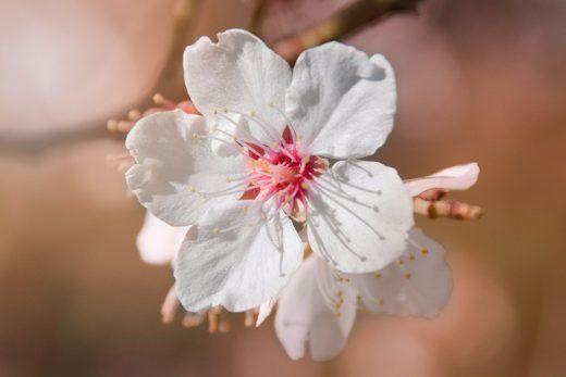 Посмотрите на миндальные деревья: признаки весны в Израиле