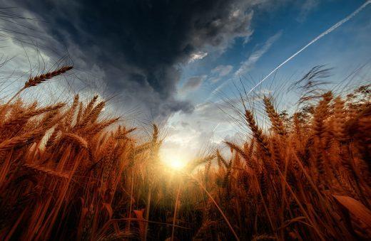 Значение пшеницы и плевел в наше время